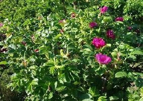 Krzak dzikiej róży