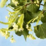 linden_blossom_on_the_branch_311917