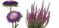 fiolety.jesieni